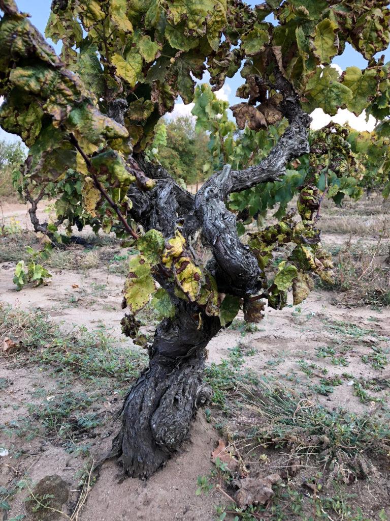 vinresor, Anette Rosvall, prephyloxera, vinranka, Grekland