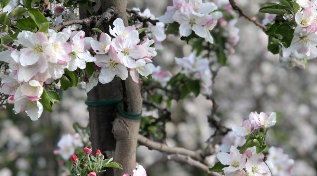 äppelblom, äpplen, blommor, Alto-Adige, Sydryrolen